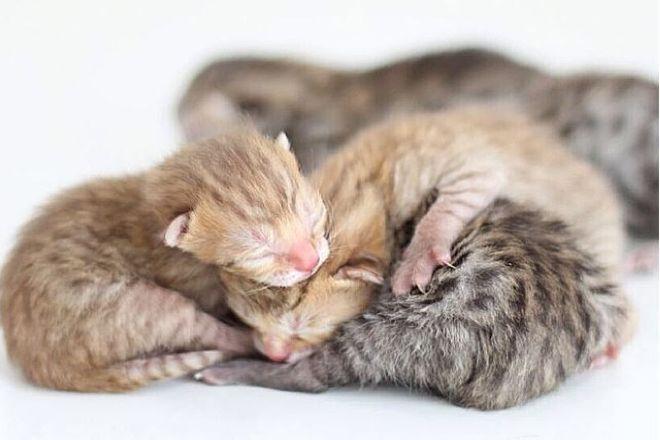Новорожденные шотландские котята