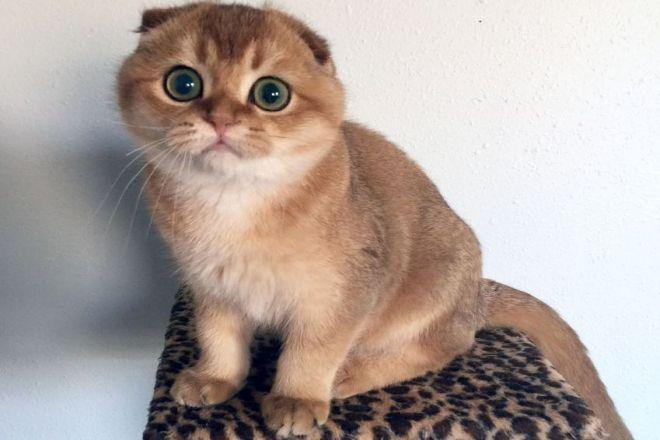 Шотландский котенок золотой окрас