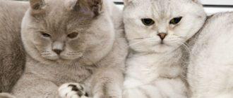 серый и серебристый кот и кошка