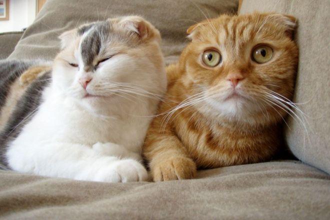 Шотландский кот и кошка