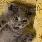 скоттиш страйт серый котенок