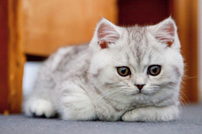 Серебристый британский котенок