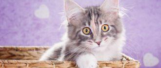 Мейн кун котнеок