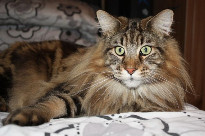 тигровый мейн кун