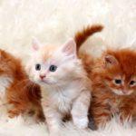3 котенка мейн куна