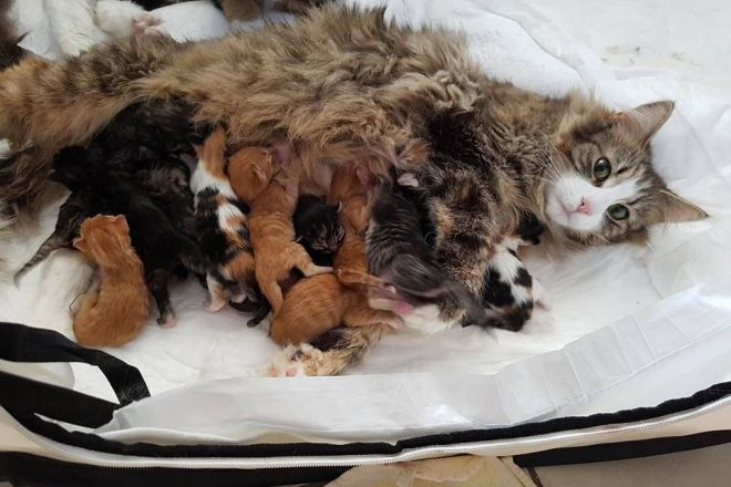 Мейн ку н кошка с новорожденными котятами