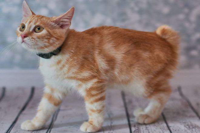 Американский бобтейл котенок