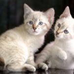 Котята меконгский бобтейлы