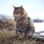 Сибирская кот