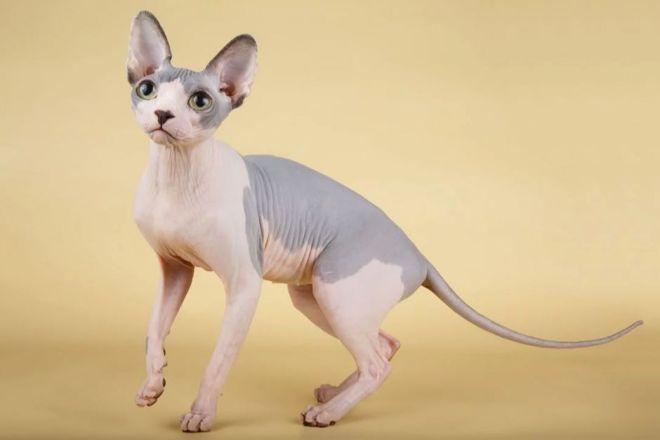 Лысая кошка сфинкс