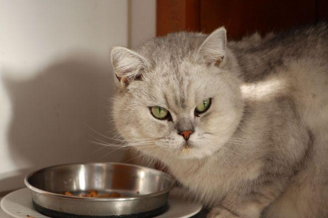 Британский кот кушает