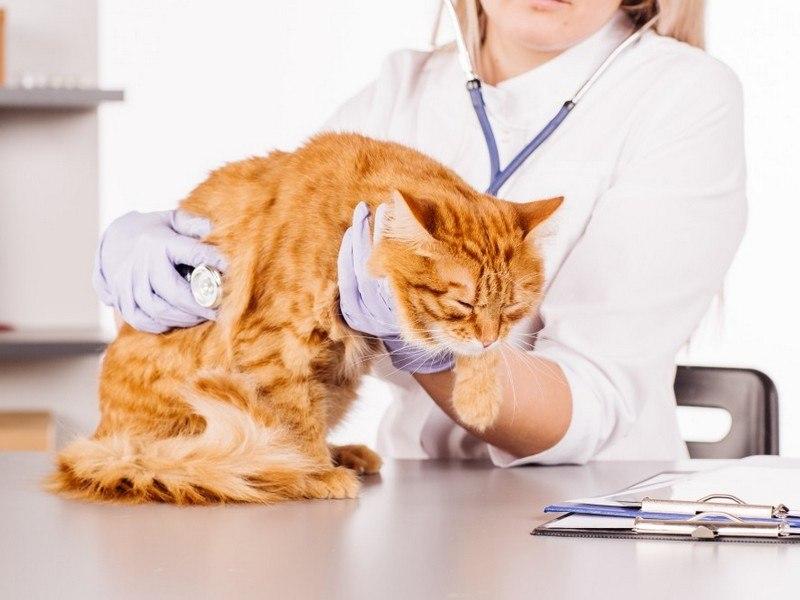 Кошка в вет. клинике