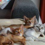 абиссинская кошка и котята