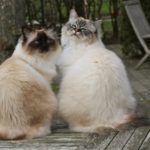 Бирманские кошки