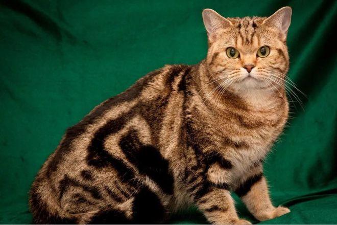 Тигровый британец