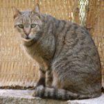 Египетский мау кот