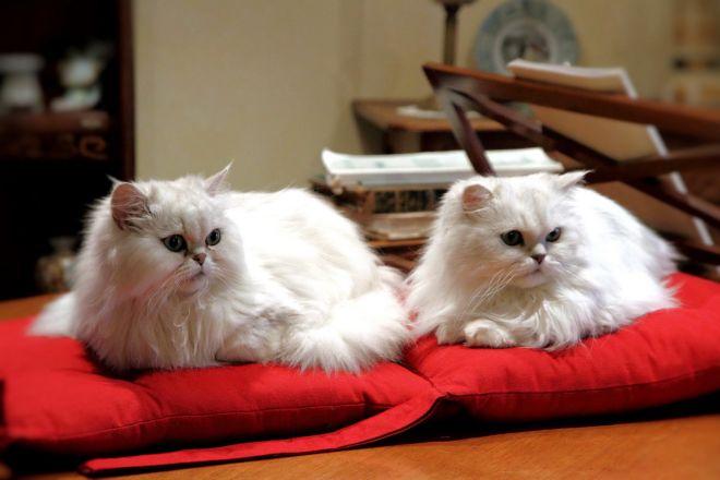 Кот и кошка белого окраса персидская порода