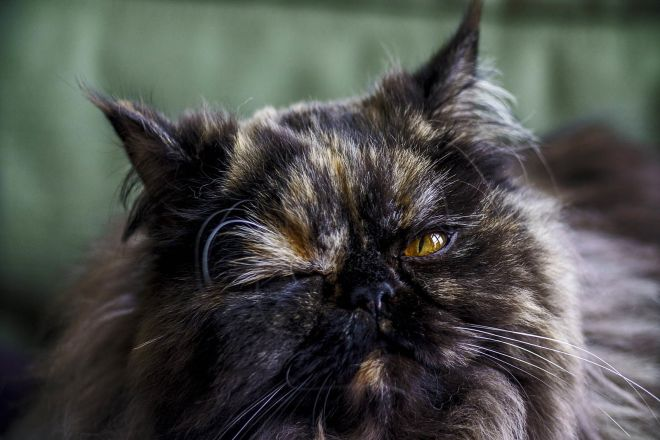 Персидский кот черепаховый окрас
