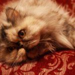 персидская кот