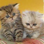 2 персидских котенка