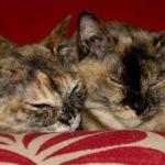 2 бурманские кошки