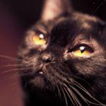 Морда бомбейской кошкиа