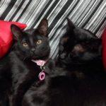 Бомбейский кот и кошка