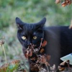 бомбейская кошка на прогулке на улице
