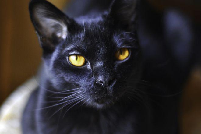 Глаза бомбейской кошки