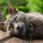 Кошка шартез