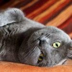 Картезианский кот