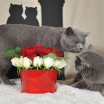 Кот и кошка шартезы