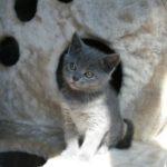 котенок шартез