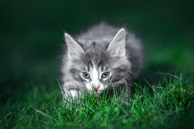 хищный котенок