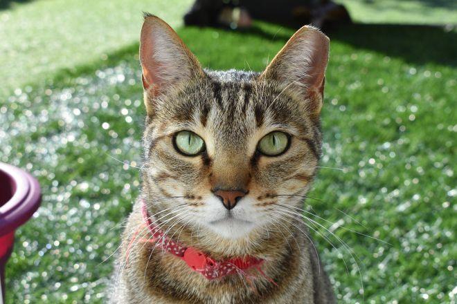 Котик арабский мау