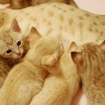 Австралийский мист котята