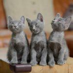 котята кораты