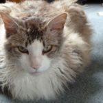 Лаперм кот