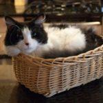 кошка лаперм