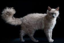 Лаперм порода кошек
