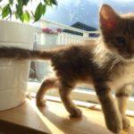 котенок лаперм рыжий