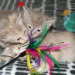 3 котенка лаперм