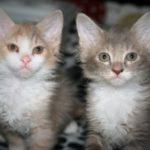 2 котенка лаперма