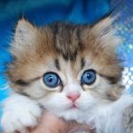 Котенок наполеон менуэт