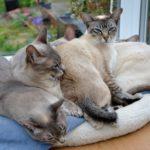 тонкинская порода кошек