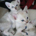 Тонкинские котятта