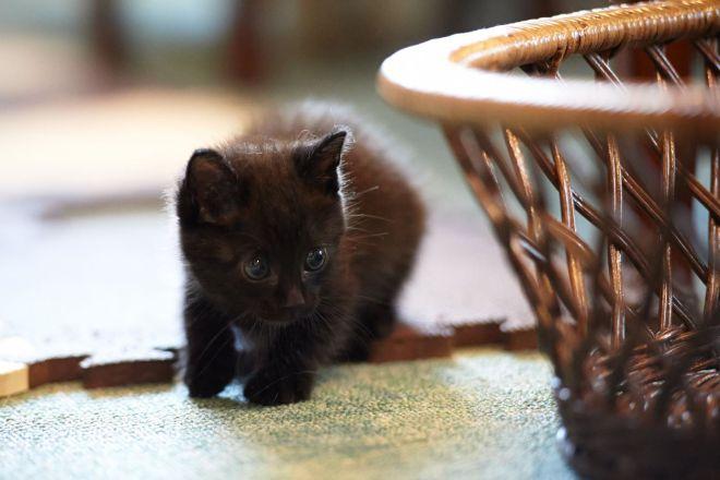 йоркская шоколадный котенок