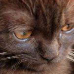 йоркская шоколадный кот