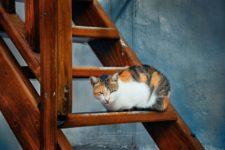 Эгейская порода кошек