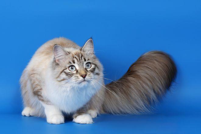 рагамаффин порода кошек